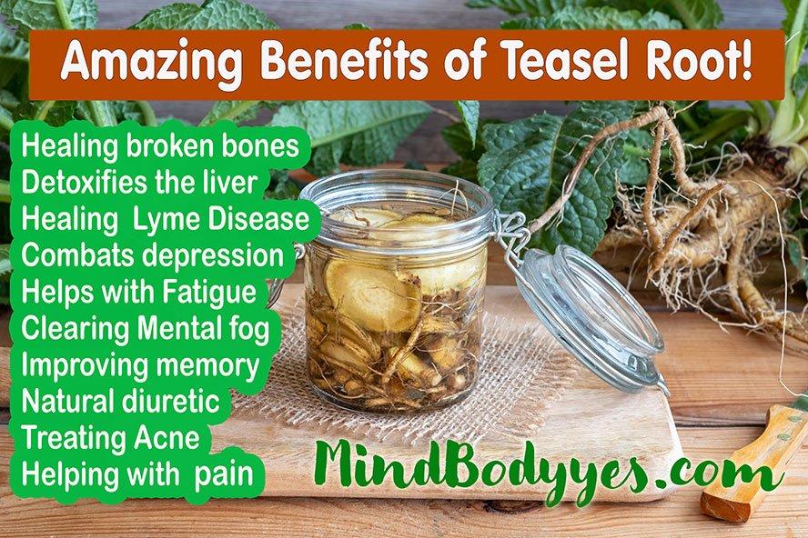 Dipsacus fullonum teasel root health benefits