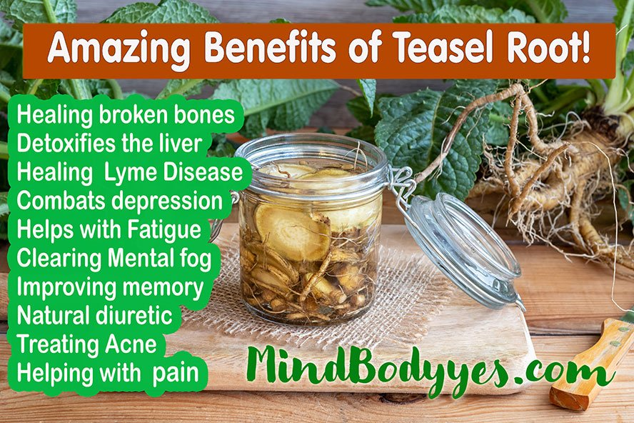 Dipsacus fullonum teasel root health benefits
