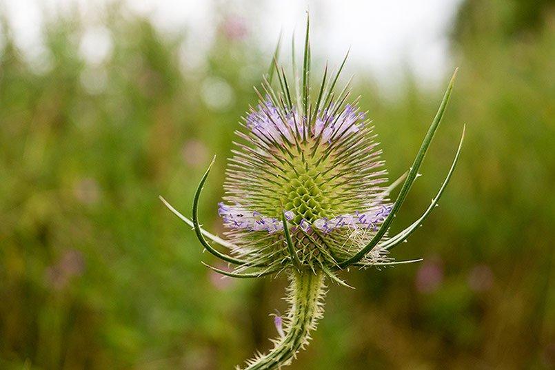 wild teasel root Dipsacus  health benefits
