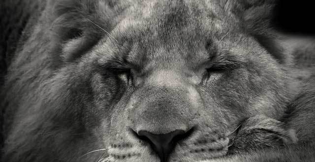 black and white image of a sleeping lion