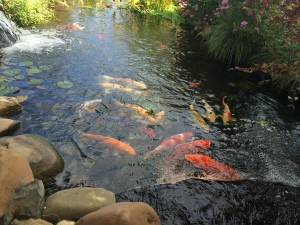 Colorful koi in a pond