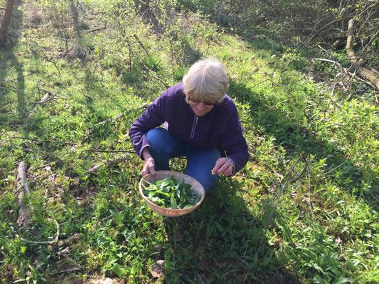 woman picking wild garlic leaves