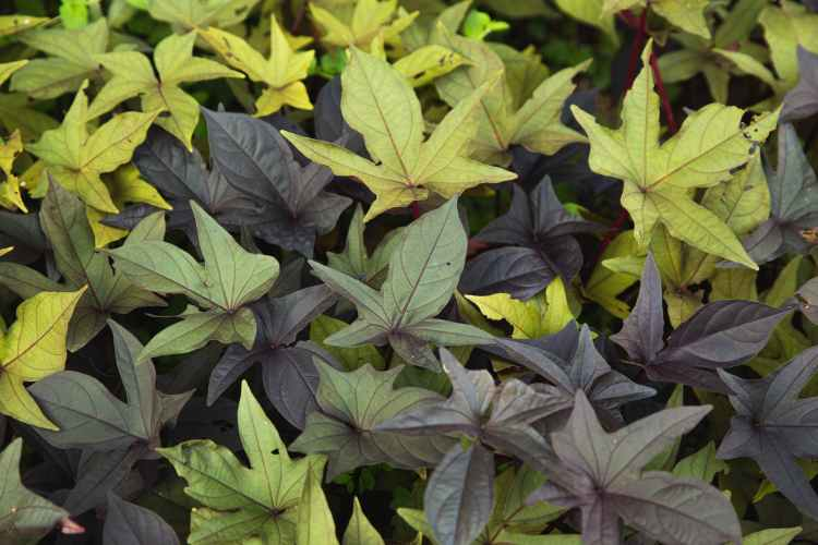 variety of multicolored leaves of plant