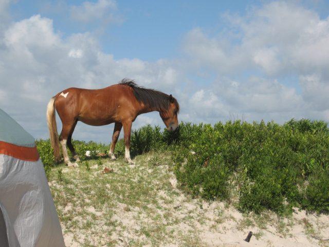 Horse on Assateague Island beach