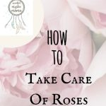 How to Take Care of Roses