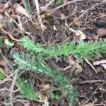 Yarrow for Courage