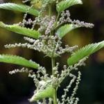 nettles - prickly gifts