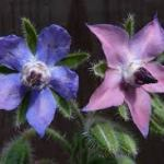 borage for courage