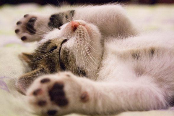 Sleeping kitten, cat, feline.