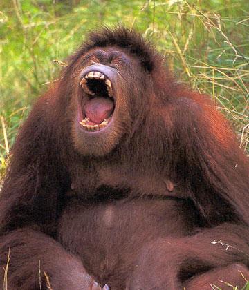 orangutan_yawn.jpg