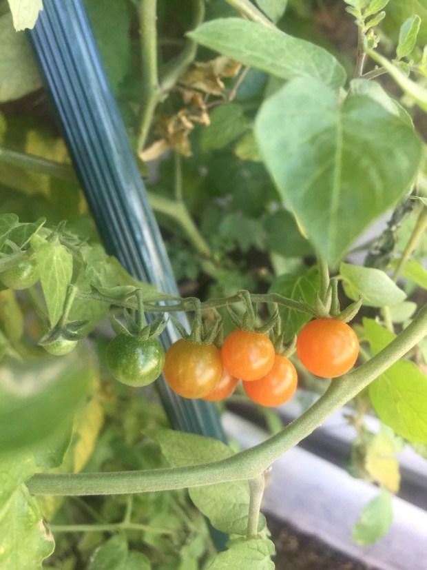 陳蔓蕾精神科女醫生日常生活 - 栽種珍珠蕃茄3