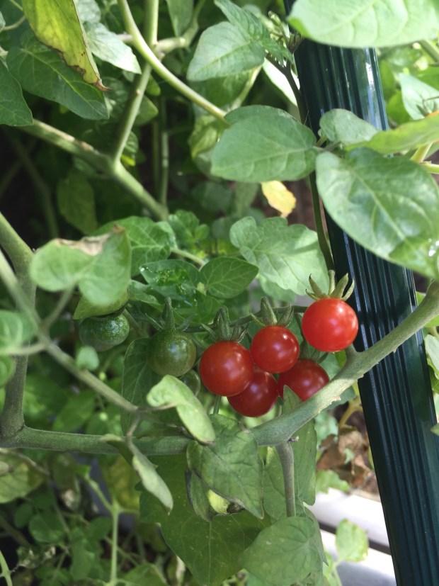 陳蔓蕾精神科女醫生日常生活 - 栽種珍珠蕃茄5
