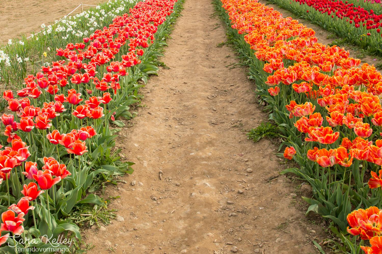 Tulip Farm Rhode Island