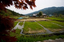 A rice field in Japan on a farm included in WWOOF network; photo by malleabis