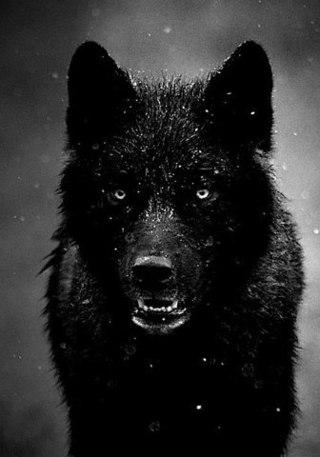 tumblr_static_black_wolf.jpg