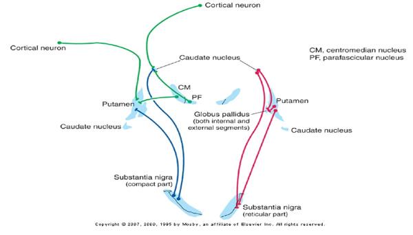 striatum