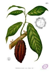 Какао Theobroma cacao Blanco