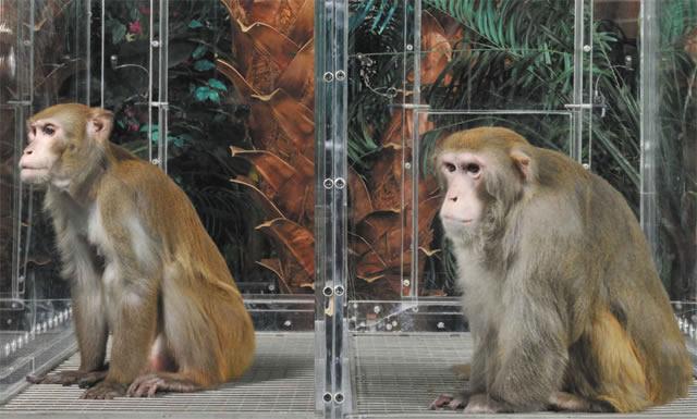 Обезьяны в исследовании NIA, слева - из экспериментальной группы, справа - ихз контрольной.