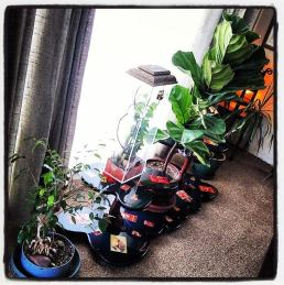"""Some indoor tropicals and my special handmade """"odd bug"""" viewing cage."""