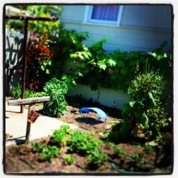 2014 veggie garden
