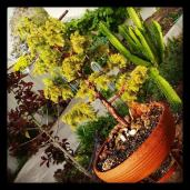 The rescued, then bonsai(d) cypress tree; 2014.