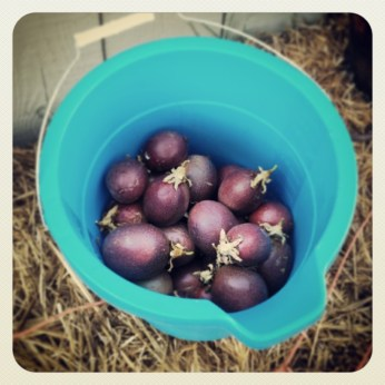 Bucket o' passion fruit.