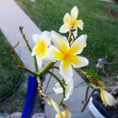 Plumeria cutting.