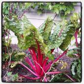 Swiss chard for juicing.