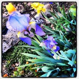 Purple iris? I think.