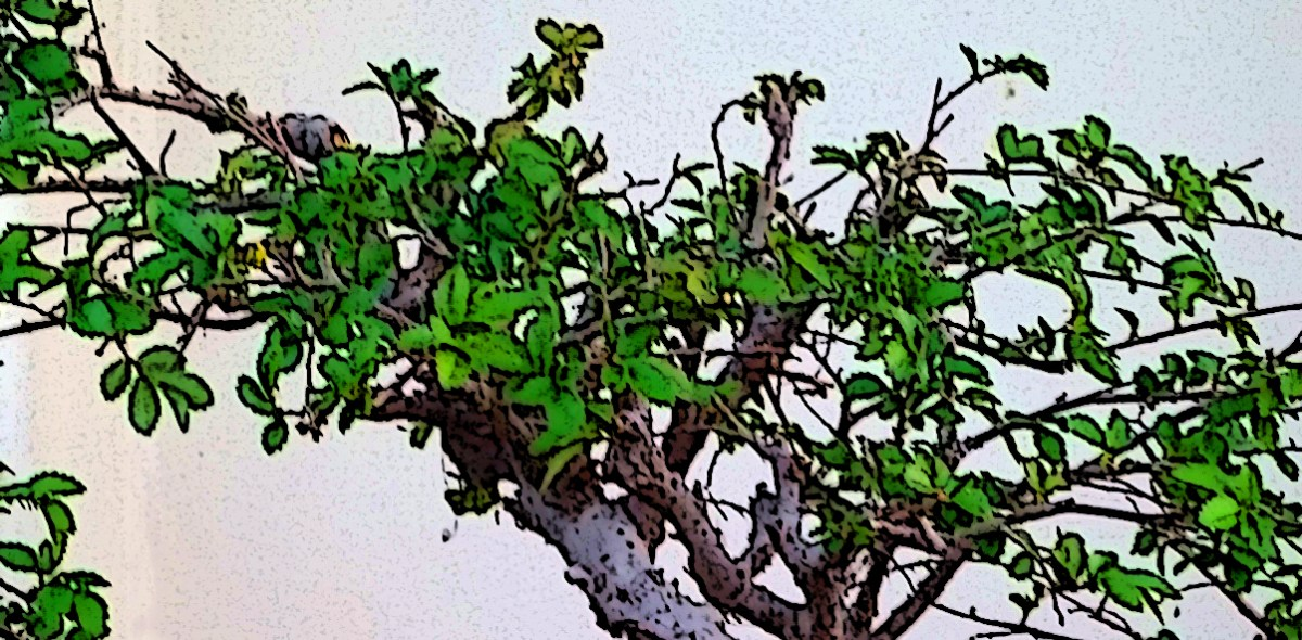 Chinese Elm Bonsai: status report