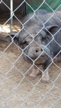 The Yoda pig