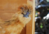 Pensive Piper the Silkie
