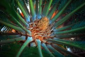 Sago Palm crown