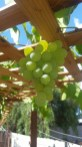 Niagara Grapes on the vine