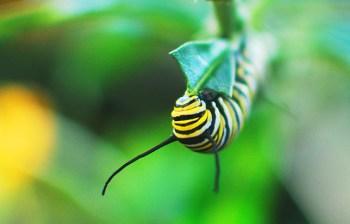 Monarch munching milkweed