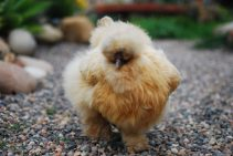 Piper the silkie on the prowl