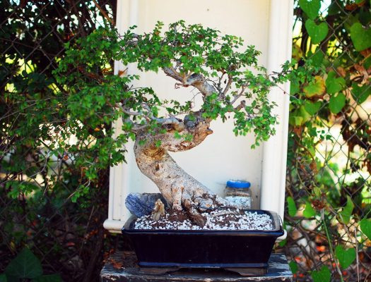 28_Repotted Chinese Elm Bonsai