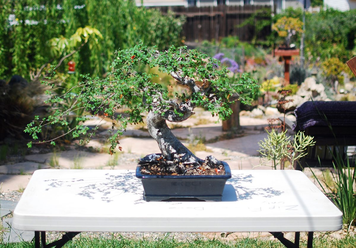 How To Repot A Bonsai The Chinese Elm Mind Your Dirt Wiring In 2 Workspace