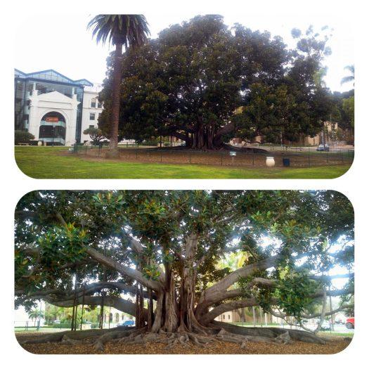 Giant Moreton Bay Fig_Balboa Park