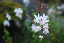 Guara Flowers