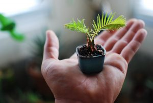 Mini little Sago Palm