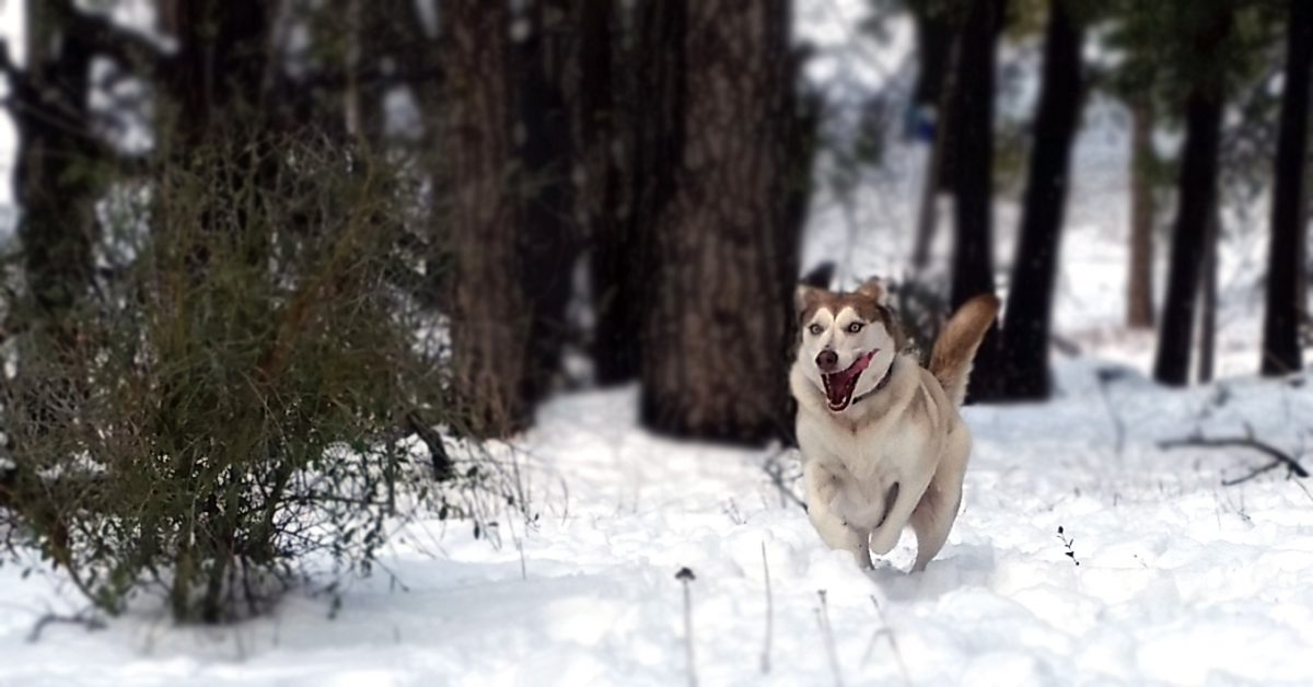 The Pure Joy of a Husky Seeing Snow for the First Time