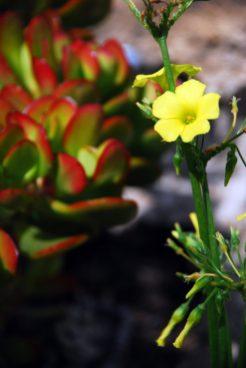 Yellow Wood Sorrel (Or Oxali)
