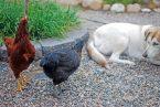 Hen meets dog