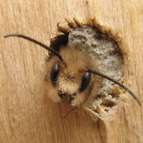 A male mason bee emerging from his chamber. Via http://bugguide.net/node/view/262500