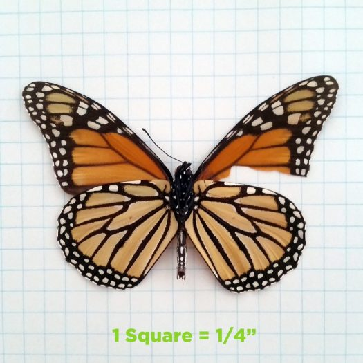 Monarch Forewing