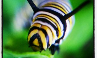 cropped-Monarch-2_Baby-Caterpillar.jpg