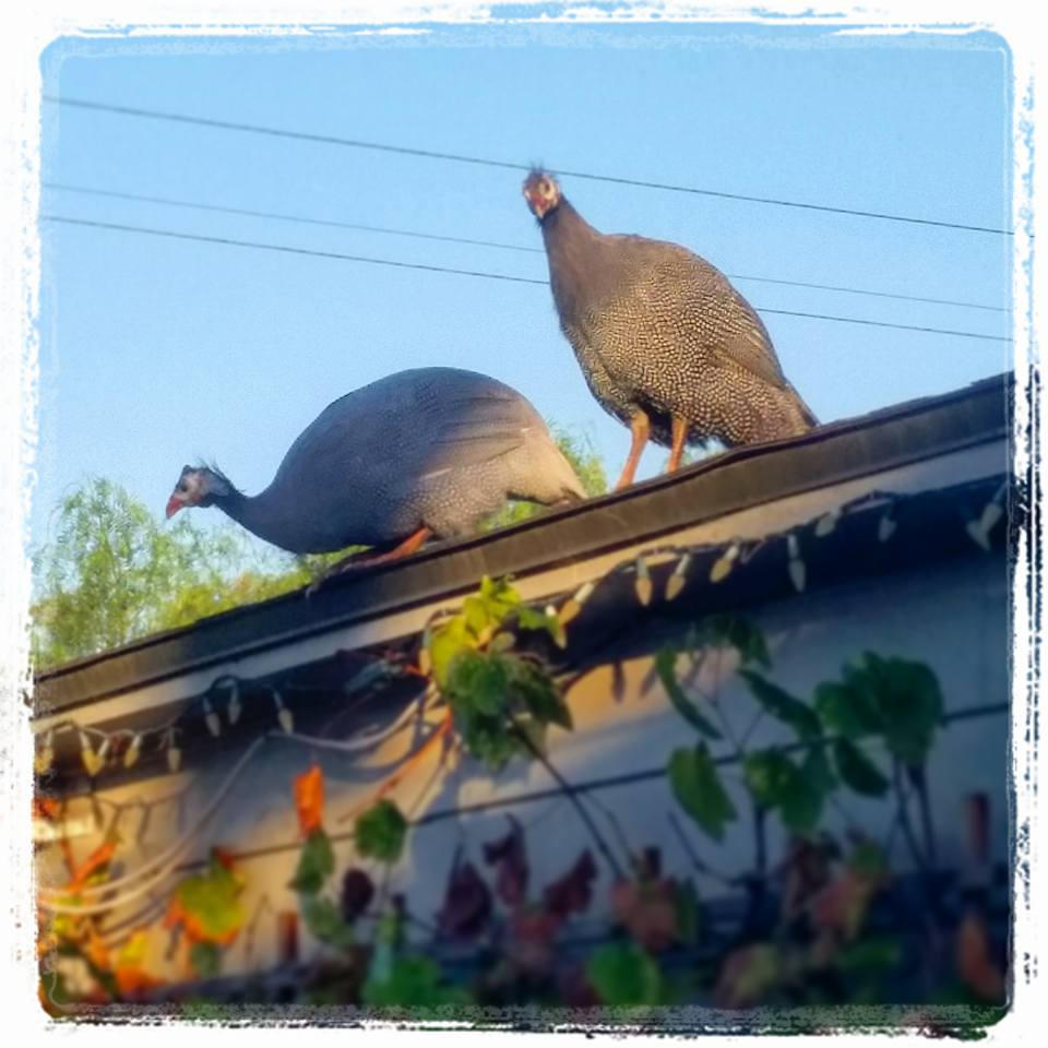 guinea-fowl-up-on-the-roof
