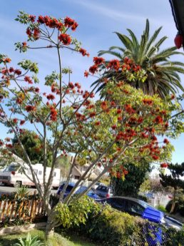 The coastal coral tree in full bloom *swoons*