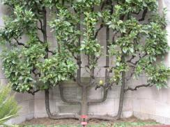 Branching Out 03_Espalier Pear Tree